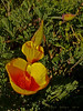 <em>Eschscholzia californica</em>, California Poppy, native.  <em>Papaveraceae</em> (Poppy family). Abbotts Lagoon, Point Reyes National Seashore, Marin Co., CA, 2013/04/17, jm2p982. The stars were aligned here to show how the sepals dehisc to allow the bud to awaken.