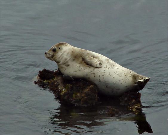 Harbor Seal, <em>Phoca vitulina</em> Monterey Bay, CA &#9664 Violaceae ----- Agavaceae &#9658