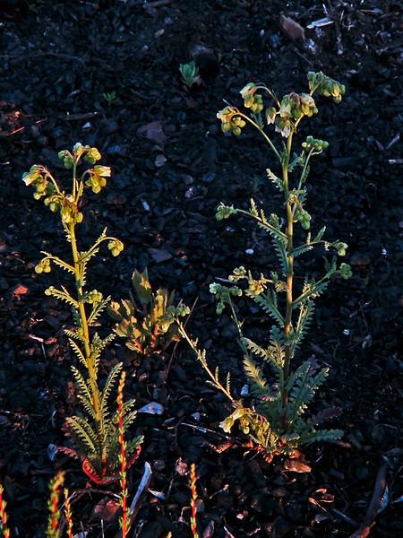 <em>Emmenanthe pendulaflora</em> var. <em>pendulaflora</em>, Whispering Bells, native. <em>Boraginaceae</em> (Borage family), [ex <em>Hydrophyllaceae</em>]. Silver Peak Wilderness, Los Padres NF, Monterey Co., CA 6/16/09 jm2p670