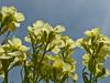 <em>Erysimum franciscanum</em>, Franciscan Wallflower, native.  <em>Brassicaceae</em> (=<em>Cruciferae</em>, Mustard family). Kirby Cove, Golden Gate National Recreation Area, Marin Co., CA 2012/04/07 jm2p548