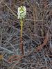 <em>Piperia elegans ssp. elegans</em>, Elegant Piperia, native.  <em>Orchidaceae</em> (Orchid family). Willow Creek, Monterey Co., CA, 2013/08/03, jm2p1404