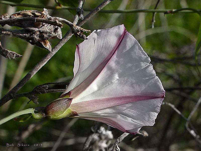 <em>Calystegia purpurata ssp. purpurata</em>, Purple Western Morning Glory, native.  <em>Convolvulaceae</em> (Morning-glory family). Slide Ranch, Golden Gate National Recreation Area, Marin Co., CA, 2013/01/28,  jm2p658