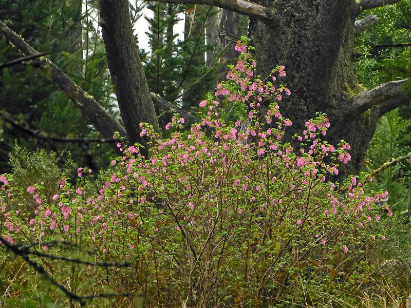 <em>Ribes sanguineum</em>, var. <em>glutinosum</em>, Red-flowering Currant, native.  <em>Grossulariaceae</em> (Gooseberry family). Woodward Valley Trail, Point Reyes National Seashore, Marin Co., CA 1/31/2012 jm2p827