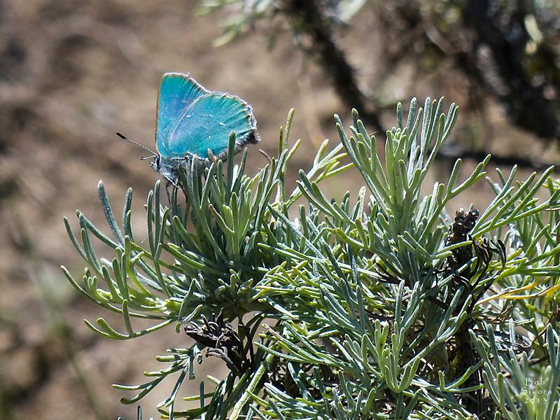 <em>Artemisia californica</em>, Coastal Sagebrush, native.  <em>Asteraceae</em> (= <em>Compositae</em>, Sunflower family). Bramble Hairstreak (coastal), <em>Callophrys dumetorum</em> complex Gull Rock footpath, Mt. Tamalpais State Park, Marin Co., CA, 2013/02/25, jm2p252