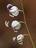 <em>Streptanthus glandulosus ssp. secundus</em>, One-sided White Jewelflower, native.  <em>Brassicaceae</em> (=<em>Cruciferae</em>, Mustard family). Big Rock, Lucas Valley Road, Marin Co., CA, 2013/05/13, jm2p570