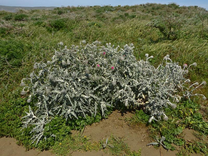 <em>Cirsium occidentale var. occidentale</em>, Cobweb Thistle, native.   <em>Asteraceae</em> (= <em>Compositae</em>, Sunflower family).  Tomales Point, Point Reyes National Seashore, Marin Co., CA 4/27/2012, jm2p288