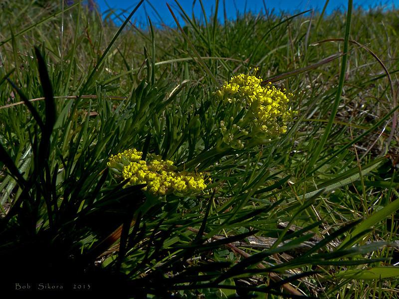 <em>Lomatium utriculatum</em>, Spring Gold or Common Lomatium, native.  <em>Apiaceae</em> (= <em>Umbelliferae</em>, Parsley family). Coastal Trail, Golden Gate National Recreation Area, Marin Co., CA  2013/01/08  jm2p192