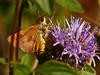 <em>Monardella villosa ssp. villosa</em>, Coyote Mint Ochlodes agricola, Farmer, Rural Skipper Edgewood County Park, San Mateo Co., CA, 2014/06/01
