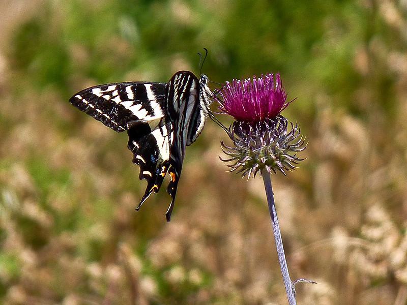 Pale Swallowtail, <em>Papilio eurymedon</em> <em>Circium Cirsium occidentale var. venustum</em>, Venus Thistle Pilot Knob, Marin Municipal Water District, Marin Co., CA, 2012/06/25,  jm2p288