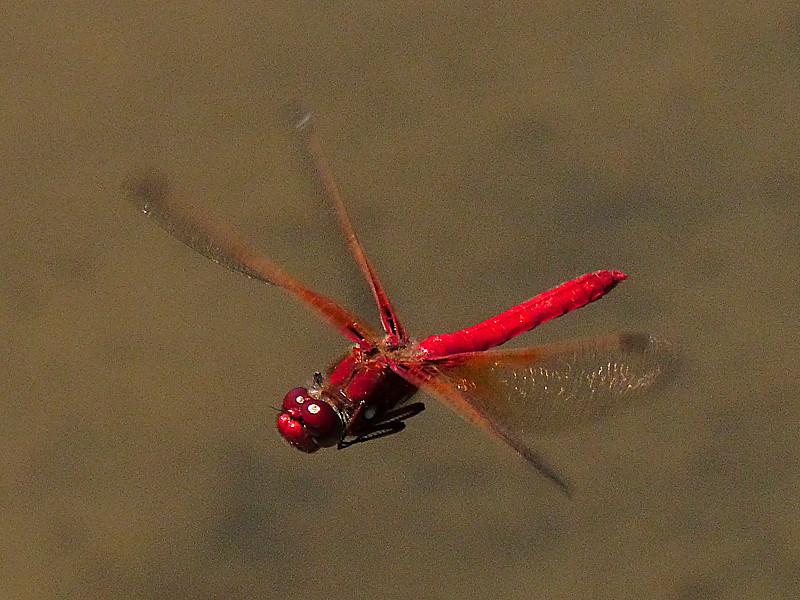 Cardinal Meadowhawk, <em>Sympetrum illotum</em> Millerton Point, Tomales Bay State Park, Marin Co., CA, 2013/06/22