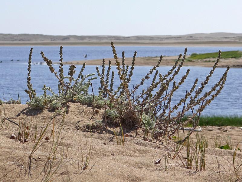 <em>Artemisia pycnocephala</em>, Beach Sage, native.  <em>Asteraceae</em> (= <em>Compositae</em>, Sunflower family). Abbotts Lagoon, Point Reyes National Seashore, Marin Co., CA, 2011/08/29, jm2p252.