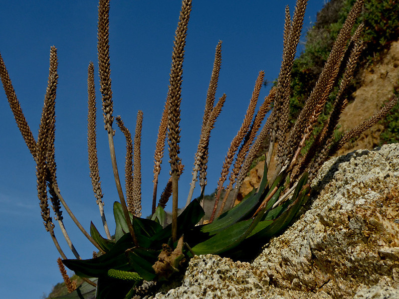 <em>Plantago subnuda</em>, Coast, Mexican,or Naked Plantain, native.  <em>Plantaginaceae</em> (Plantain family). McClures Beach, Point Reyes National Seashore, Marin Co., CA 12/6/2011  jm2p1030