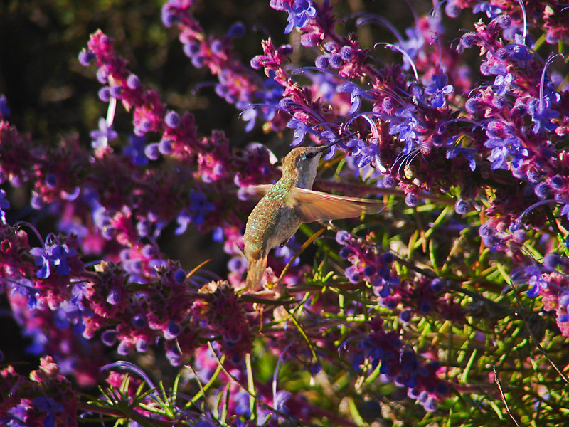 Rufous Hummer on Woolly Blue Curls<br /> Silver Peak Wilderness, Los Padres NF<br /> Monterey Co., CA              06-16-09  jm2p860