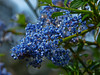<em>Ceanothus thyrsiflorus var. thyrsiflorus</em>, Blue Blossom, native.  <em>Rhamnaceae</em> (Buckthorn family). San Pedro Valley County Park, San Mateo Co., CA, 2014/03/30, jm2p1162