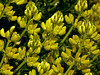 <em>Lupinus arboreus</em>, Yellow Bush Lupine, native.  <em>Fabaceae</em> (=<em>Leguminosae</em>, Legume family). Tomales Point, Point Reyes National Seashore, Marin Co., CA 2012/04/27 jm2p769