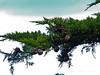 <em>Hesperocyparis (ex Cupressus) macrocarpa</em>, Monterey Cypress, Monterey Co.  <em>Cupressaceae</em> (Cypress family). San Pedro Beach, San Mateo Co., CA, 2014/03/30, jm2p138