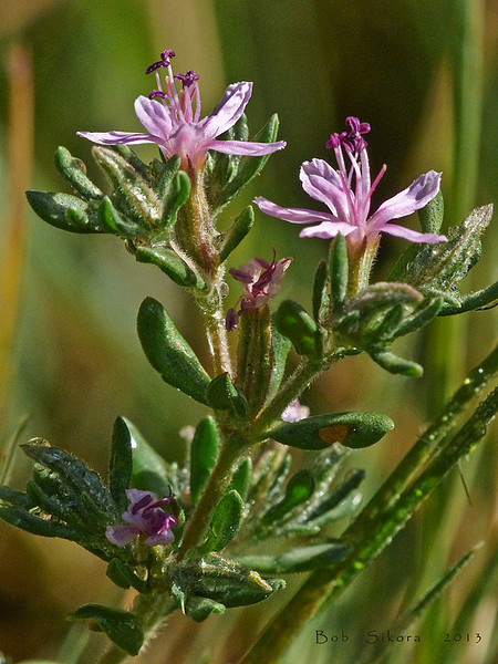 <em>Frankenia salina</em>, Frankenia, native.  <em>Frankeniaceae</em> (Frankenia family). Millerton Point, Tomales Bay State Park, Marin Co., CA, 2013/06/22, jm2p808