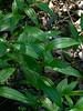 <em>Maianthemum (ex Smilacina) stellata</em>, Slim or Nuttall Solomon-seal, native.  <em>Ruscaceae</em> (Butcher's-broom family); Ex<em>Liliaceae</em> (Lily family). Sibley Volcanic Regional Preserve, Alameda/Contra Costa Cos., CA , 2011/04/04, jm2p1504