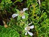 <em>Horkelia marinensis,</em> Point Reyes Horkelia, native.  <em>Rosaceae</em> (Rose family). Bull Point Trail, Point Reyes National Seashore, Marin Co., CA, 2013/07/07, jm2p1183