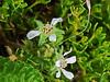 <em>Horkelia marinensis,</em> Point Reyes Horkelia, native.  <em>Rosaceae</em> (Rose family). Bull Point Trail, Point Reyes National Seashore, Marin Co., CA, 2013/07/07, jm2p1183