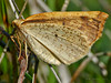 Geometrid moth,<em>Neoterpes edwardsata</em> Keyhoe Beach, Point Reyes National Seashore, Marin Co., CA, 2011/12/21