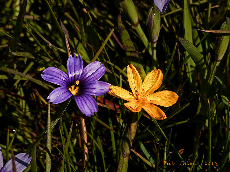 <em>Sisyrinchium bellum</em>, Blue-eyed Grass, native.  <em>Iridaceae</em> (Iris family). <em>Sisyrinchium californicum</em>, Yellow-eyed Grass, native. Bull Point Trail, Point Reyes National Seashore, Marin Co., CA, 2013/05/01, jm2p1360.