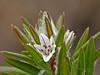 <em>Polygonum paronychia</em>, Beach Knotweed, native.  <em>Polygonaceae</em> (Buckwheat family). Abbotts Lagoon, Point Reyes National Seashore, Marin Co., CA, 2015/05/10, jm2p1120