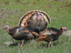 Wild Turkey, <em>Meleagris gallopavo</em> Mt. Tamalpais State Park, Marin Co., CA, 2014/03/10