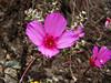 <em>Clarkia rubicunda</em>, Godetia, Farewell to Spring, native. <em> Onagraceae</em> (Evening Primrose family) Silver Peak Wilderness, Los Padres NF, Monterey Co., CA  6/15/09  jm2p940