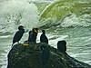 Cormorants on sea stack (2 species, at least)<br /> Palomarin Coastal Trail, Point Reyes National Seashore, Marin Co., CA,  2913/02/13