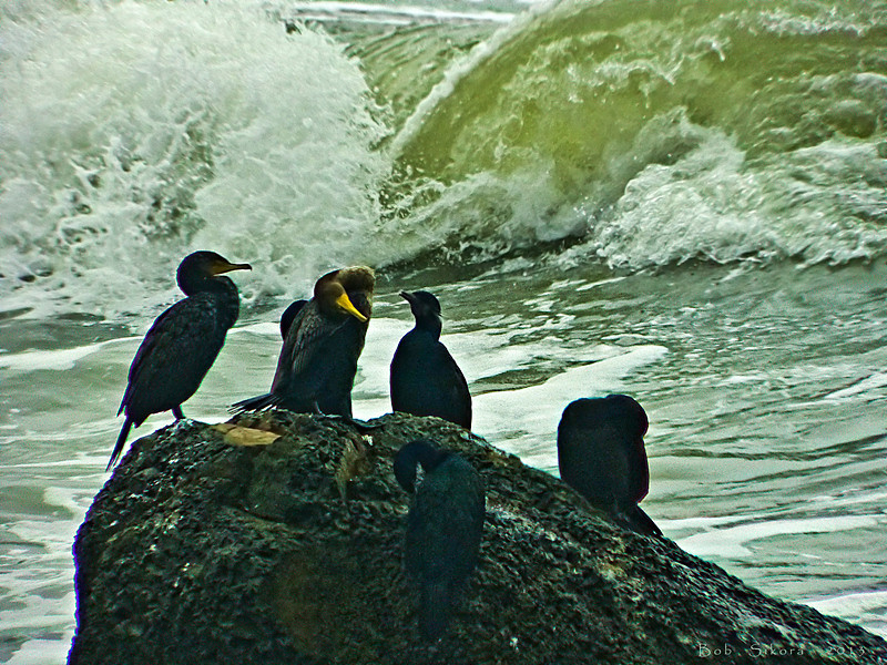 Cormorants on sea stack (2 species, at least)<br /> Palomarin Coastal Trail, Point Reyes National Seashore, Marin Co., CA,  2913/02/13