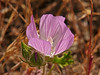 <em>Sidalcea diploscypha</em>, Fringed Checkerbloom, native.  <em>Malvaceae</em> (Mallow family). Edgewood County Park, San Mateo Co., CA, 2014/06/01, jm2p892
