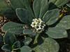 <em>Heliotropium curassavicum</em>,  Seaside Heliotorpe, native.  <em>Boraginaceae</em> (Borage family). Abbotts Lagoon, Point Reyes National Seashore, Marin Co., CA 8/29/2011  jm2p475