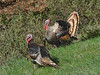 Wild Turkey, Meleagris gallopavo<br /> Mt. Tamalpais State Park, Marin Co., CA