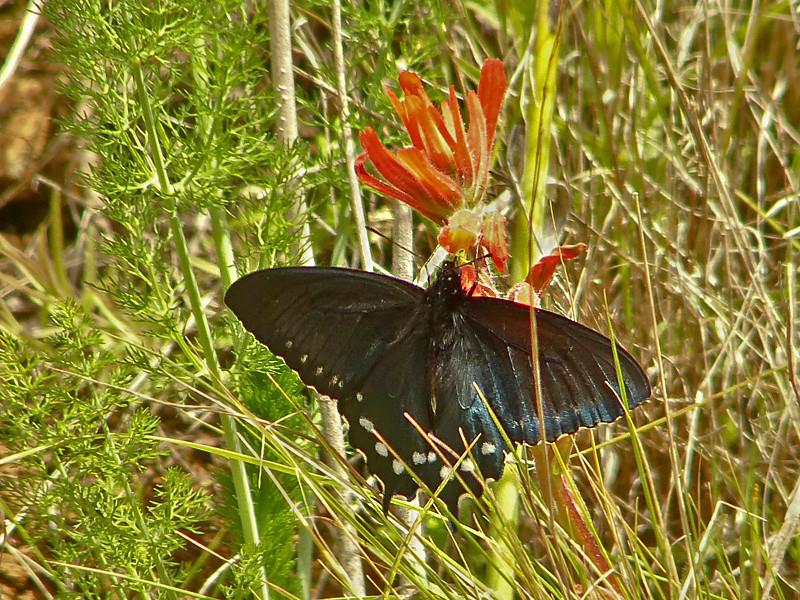 Pipevine Swallowtail, <em>Battus philenor</em>; nectaring on <em>Castilleja subinclusa,</em> ssp. <em>franciscana.</em> Kirby Cove, Golden Gate National Recreation Area, Marin Co., CA 2012/04/07