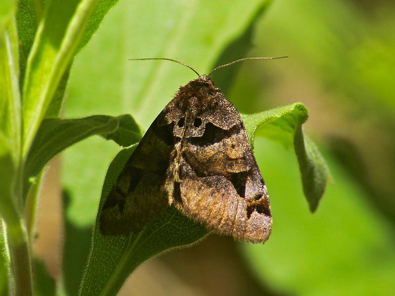 Moth, <em>Euclidia ardita</em>. Tassajara Springs Road, Monterey Co., CA  5/7/08