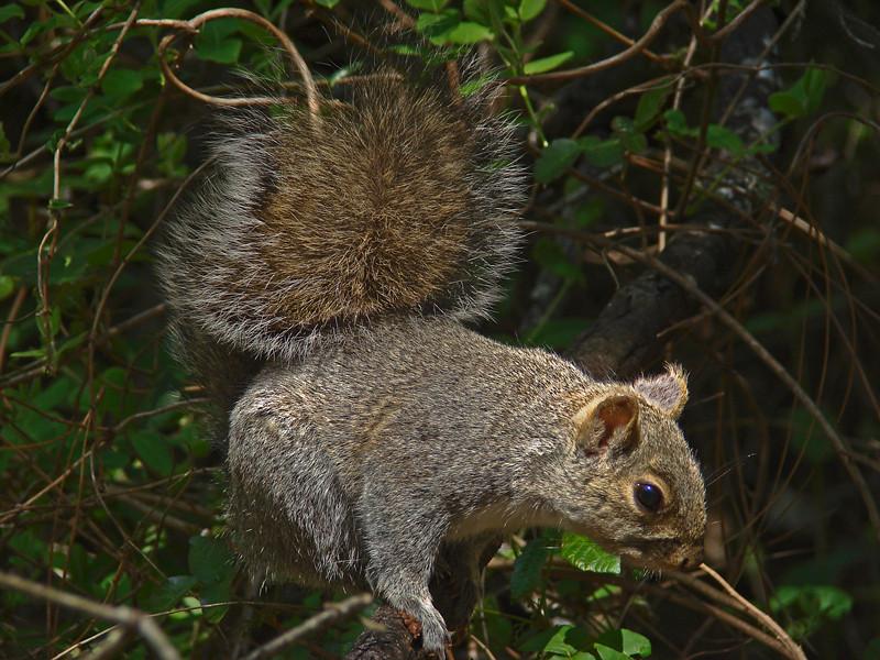 Western Gray Squirrel, <em>Sciurus griseus</em> Cowell Redwoods State Park, Santa Cruz Co., CA 4/16/09 &#9664 Plumbaginaceae ----- Polemoniaceae &#9658