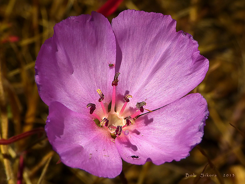 <em>Clarkia rubicunda</em>, Ruby Chalice Clarkia, Farewell to Spring, native.  <em>Onagraceae</em> (Evening Primrose family). This flower lacks the deep red typically at the base of the petals. Miwok Trail, Fort Cronkhite, Golden Gate National Recreation Area, Marin Co., CA  2012/06/09  jm2p940