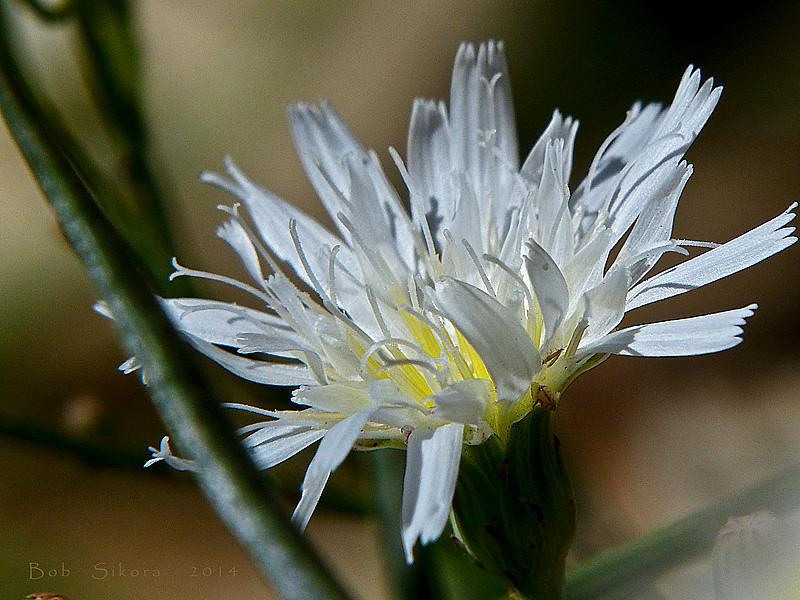 <em>Malacothrix saxatilis var. commutata</em>, Cliff Desertdandelion, South Coast Range Malacothrix, native.  <em>Asteraceae</em> (= <em>Compositae</em>, Sunflower family). Los Padres National Forest, Ventura Co., CA,  2014/07/18, jm2p384