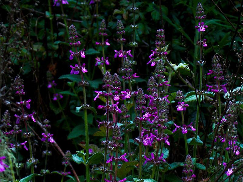 <em>Stachys bullata</em>, California Hedgenettle, native.  <em>Lamiaceae</em> (=<em>Labiatae</em>, Mint family) Bixby Mtn., Point Sur, Monterey Co., CA  6/16/09 jm2p858