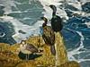 Pelagic Cormorant, <em>Phalacrocorax pelagicus</em> Heermann's Gull, <em>Larus heermanni</em> Tomales Point, Point Reyes National Seashore, Marin County, CA &#9664 Phyrmaceae ----- Pittosporaceae &#9658