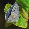 Echo Blue, <em>Celastrina ladon echo</em> Devil's Gulch, Samuel Tayler State Park, Marin Co., CA, 2014/04/05