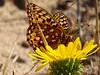 "<em>Speyeria zerene puntareyes</em>, ""Myrtle"" Zerene Fritillary <em>Grindelia stricta</em> var. <em>platyphylla</em>, Dune Gumplant, native.  <em>Asteraceae</em> (= <em>Compositae</em>, Sunflower family). Abbotts Lagoon, Point Reyes National Seashore, Marin Co., CA 8/29/2011 &#9664 Montiaceae ----- Myrsinaceae &#9658"
