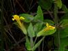 <em>Mimulus moschatus</em>, Musk Monkeyflower, native.  <em>Phyrmaceae</em>  (<em>Mimulus</em>) Ex <em>Scrophulariaceae</em>. FW marsh nr. Sr. Francis Drake Blvd/Pierce Pt. Rd.  junction, Point Reyes National Seashore, Marin Co., CA, 2013/07/07, jm2p995