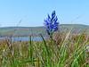 <em>Camassia quamash ssp. quamash</em>, Camas, native.  <em>Agavaceae (ex liliaceae)</em> (Agave family). Bull Point, Point Reyes National Seashore, Marin Co., CA , 2013/05/01,  jm2p1284
