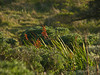 <em>Chasmanthe floribunda</em>, Cobra Lily, S. Africa.  <em>Iridaceae</em> (Iris family). Tomales Point, Point Reyes National Seashore, Marin Co., CA 3/2/2012 jm2p1357