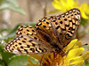 "<em>Speyeria zerene puntareyes</em>, ""Myrtle"" Zerene Fritillary <em>Grindelia stricta</em> var. <em>platyphylla</em>, Dune Gumplant, native.  <em>Asteraceae</em> (= <em>Compositae</em>, Sunflower family). Abbotts Lagoon, Point Reyes National Seashore, Marin Co., CA 8/29/2011"