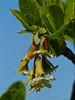 <em>Oemleria cerasiformis</em>, Oso Berry, native.  <em>Rosaceae</em> (Rose family). San Bruno Mountain, San Mateo County, CA, 2013/03/10,  jm2p1190