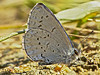 Echo Blue, <em>Celastrina ladon echo</em> Coast Trail, Point Reyes National Seashore, Marin Co., CA 2012/03/09
