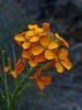 <em>Erysimum capitatum var. capitatum</em>, Western Wallflower, native.  <em>Brassicaceae</em> (=<em>Cruciferae</em>, Mustard family). The Cedars, Sonoma Co., CA, 2014/04/27, jm2p548.